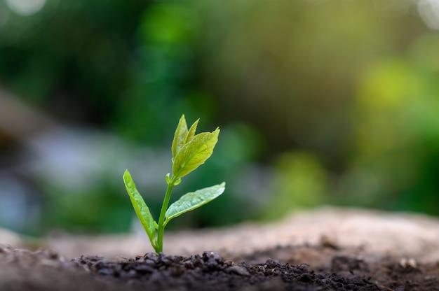 自然の朝の光で若い植物