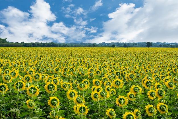 ひまわり畑と空