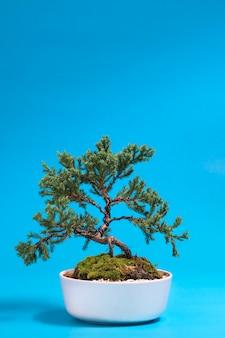盆栽の木は青い背景を隔離する