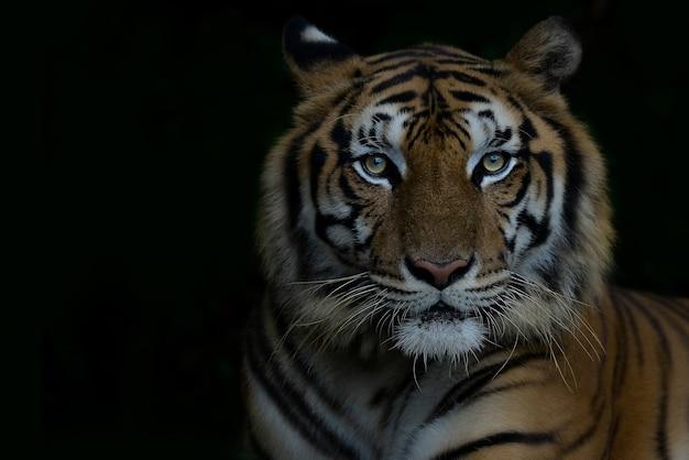 Крупный план бенгальский тигр и черный фон