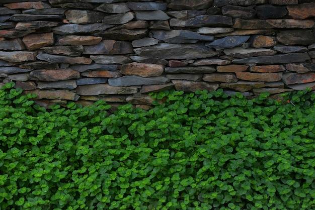 石の壁と緑チャーリーの葉の背景