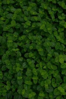 背景のための緑チャーリーの葉を閉じます