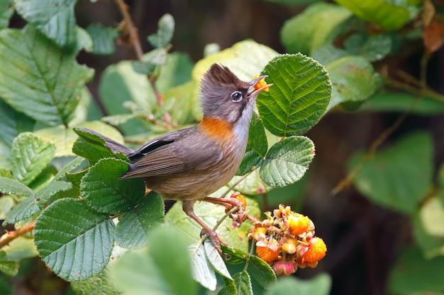 ヒゲユヒナユヒナフラビコリタイの美しい鳥が果物を食べる