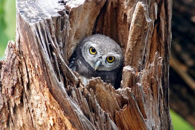 中空の木に斑点を付けられたオウレットアテネブラマ鳥