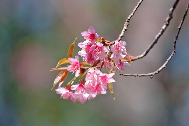 タイの冬の間に咲く野生のヒマラヤ桜の枝