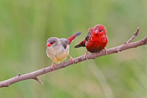 レッド・アバダヴァット・アマンダバ・アマンダバタイの美しい鳥