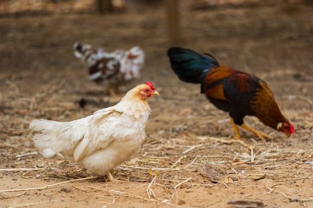 鶏が農場で休憩