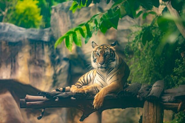 Бенгальский тигр отдыхает в лесу