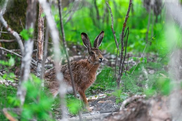 緑の草に座っている野生のノウサギ