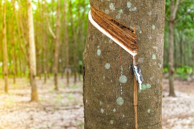 ゴムの木のプランテーションでゴムの木から滴り落ちる天然ラテックス