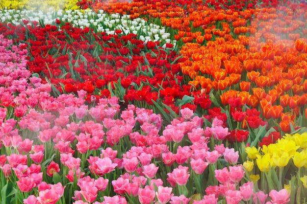 庭に咲く美しいチューリップ。チューリップの花は屋外の自然光の下でクローズアップ