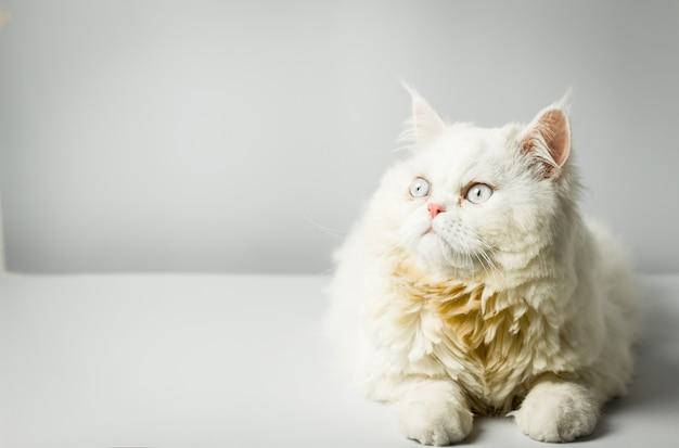 白に眉をひそめるウールの白いペルシャ猫。