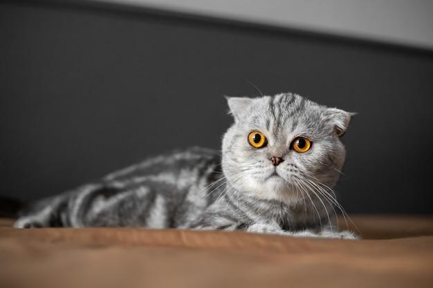 スコティッシュフォールド猫のとてもかわいい。