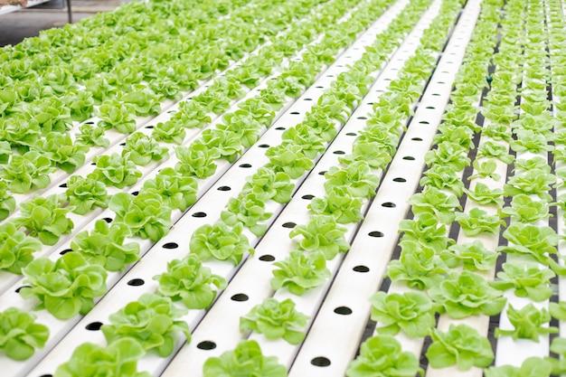 温室で成長しているレタス農場の水耕栽培。