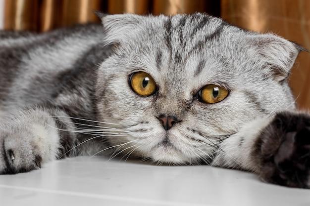 愛らしいスコティッシュフォールド猫。