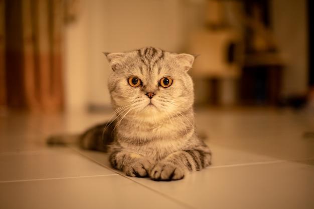 スタジオで肖像画のスコティッシュフォールド猫。