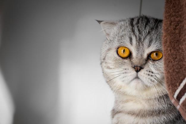 Портрет шотландской вислоухой кошки в комнате.