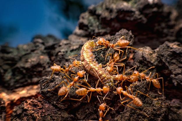 赤アリは虫を巣に移動させています。