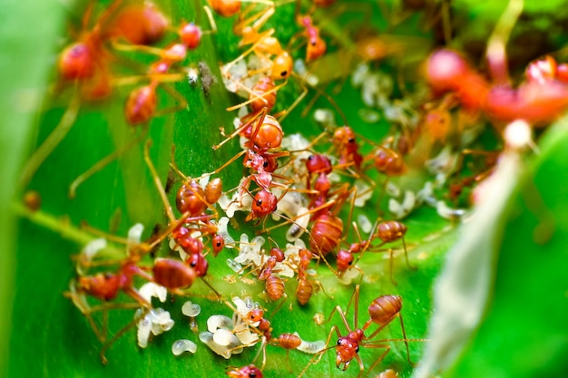 赤アリの巣の中には、赤アリと赤アリの卵がいっぱいです。