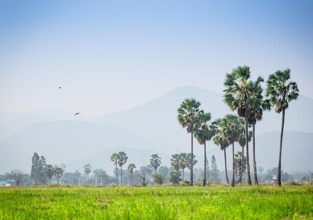 アジアのパルミラ・ヤシ、ペッチャブリー・タイの田んぼに囲まれた砂糖のヤシの木