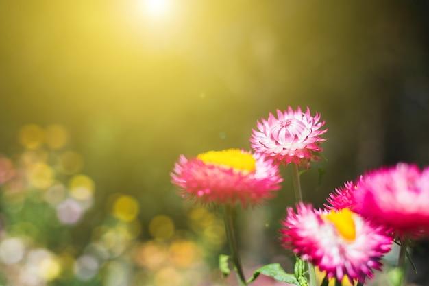 Мягкий фокус цветочного фона при восходе солнца по утрам, соломенном цветке или вечном для размытия фона