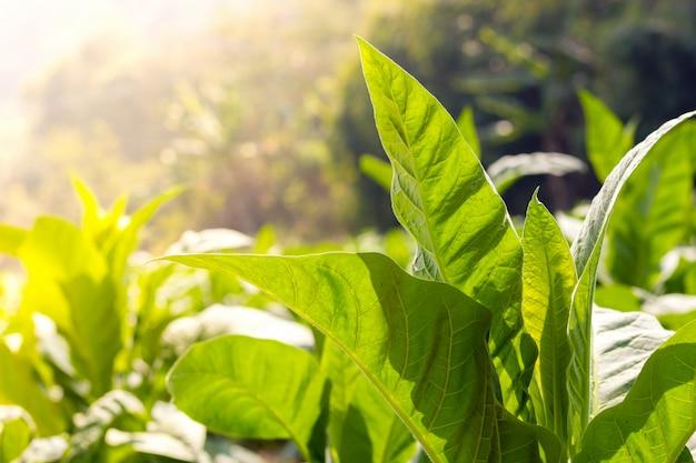 Зеленый лист табака крупным планом и размытый фон табачного поля
