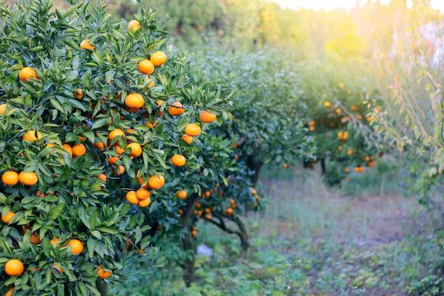 Апельсин - апельсиновое дерево апельсиновый парк