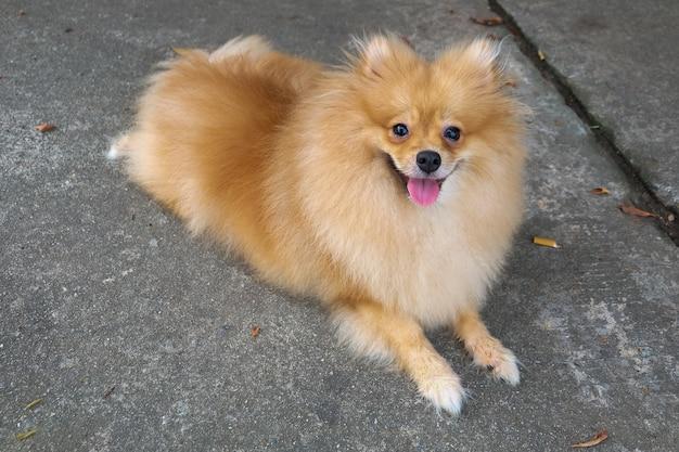 ミニチュアポメラニアンスピッツの子犬のサイトと公園の自然の笑顔の監視。