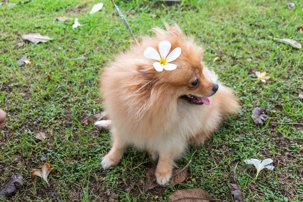 ミニチュア・ポメラニア・スピッツの子犬のサイトプルメリアの花の芝生