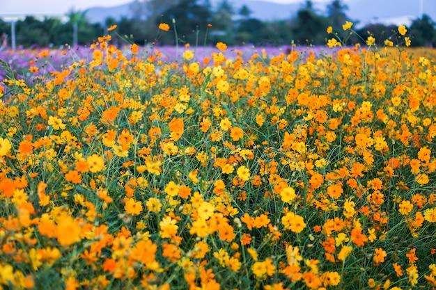 マキシカンのヒマワリとコスモスの花の美しい