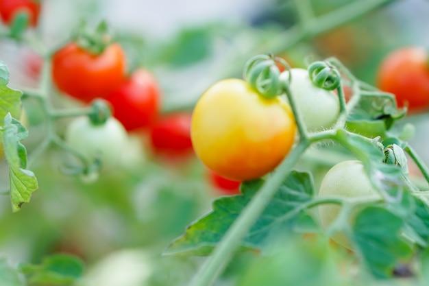 ソフトフォーカス - 家庭菜園で赤とオレンジスグリのトマト。
