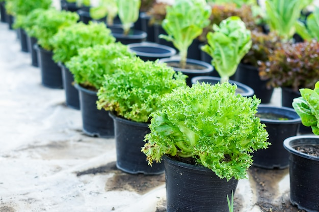 有機野菜、サラダ、緑の葉野菜。
