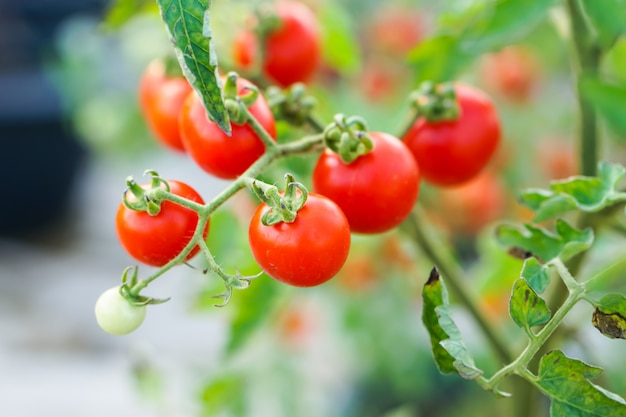 家庭菜園で赤スグリのトマト。