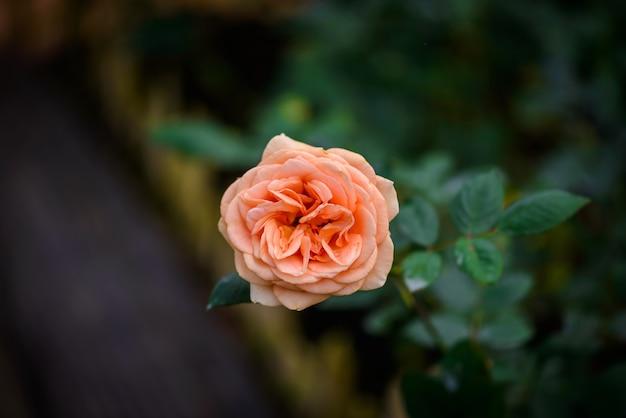 ロマンチックなフラワーガーデンで芽とバラ。