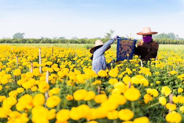 マリーゴールドの花の収穫