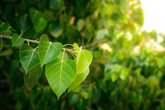 菩提樹から菩提またはのぞき見の葉