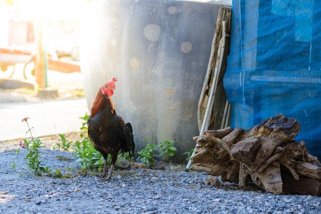 カラフルなオンドリや農場でのコックの戦い