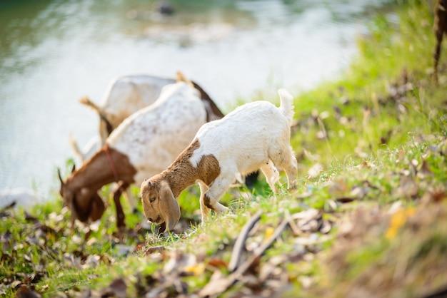 ヤギの草を食べる