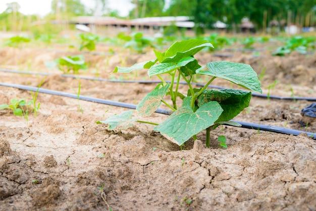 点滴灌漑システムを用いて栽培したキュウリ畑