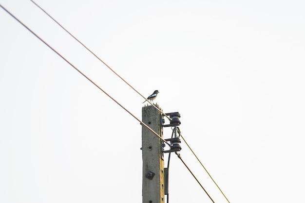 カササギ立って穏やかな電力線