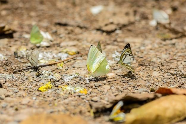 床に水を集める多くのマダラチョウ