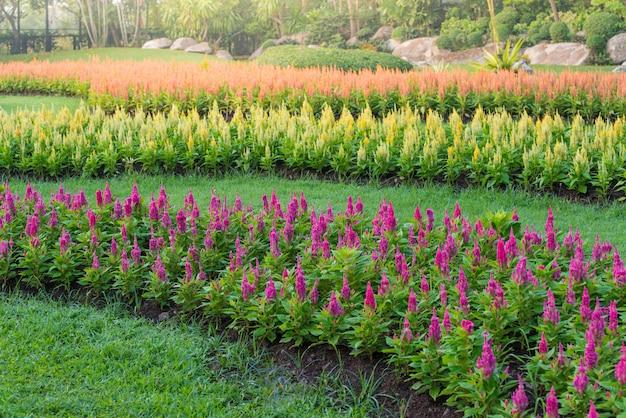 色とりどりのチェロシア花の庭