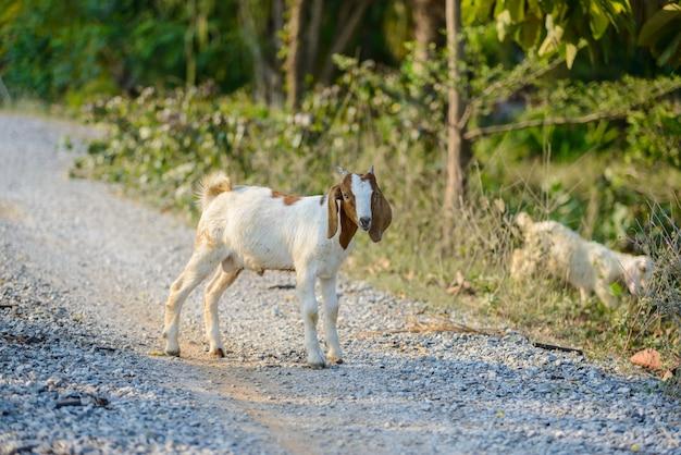 道路上のヤギの肖像画