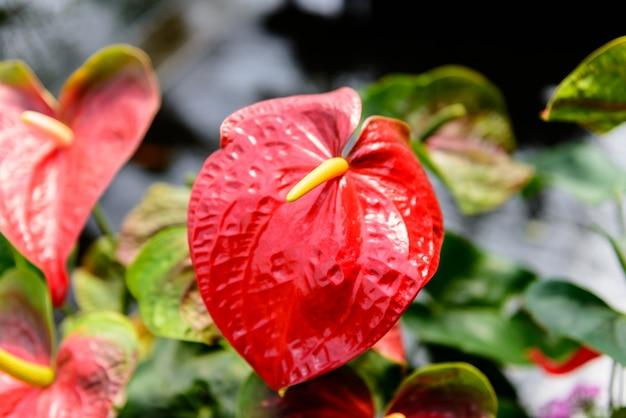 植物園の赤いアンスリウムの花のクローズアップ