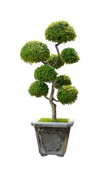 盆栽の木、白で隔離されるドワーフの木