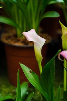 Калла лили цветок