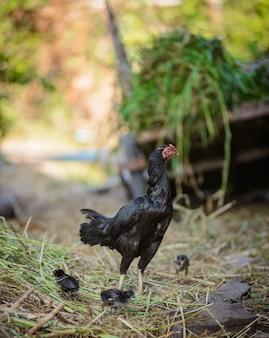 鶏と群れ、鶏の群れが地面に立って群れ、雛の群れ