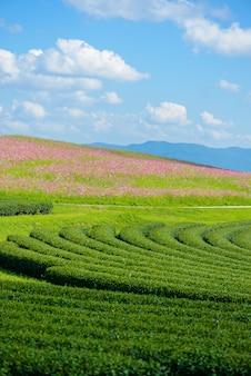 コスモス畑と青空と緑茶畑