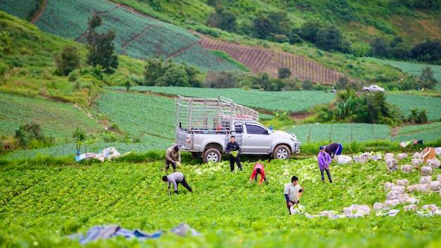 農夫は山の上のキャベツ畑で働いています