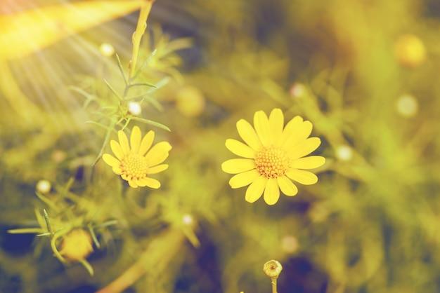 黄色のデイジーフィールド